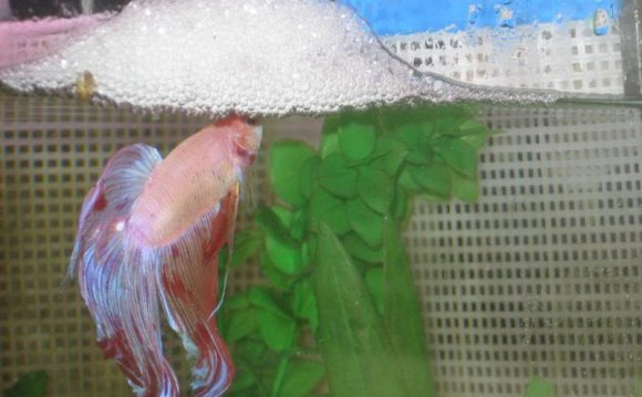Why do Betta fish make bubbles?