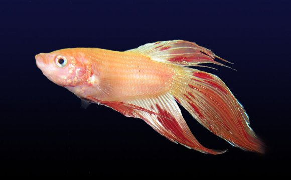 What do Chinese fighting fish eat?