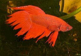 Siamese Fighting Fish have a spectacular appearance, making them great aquarium fish