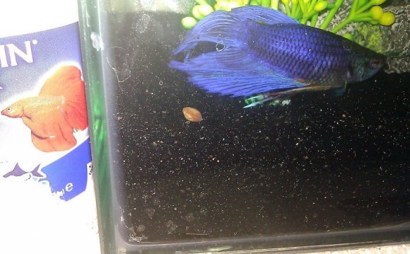 Betta fish healthy