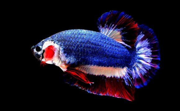 Most Expensive Betta