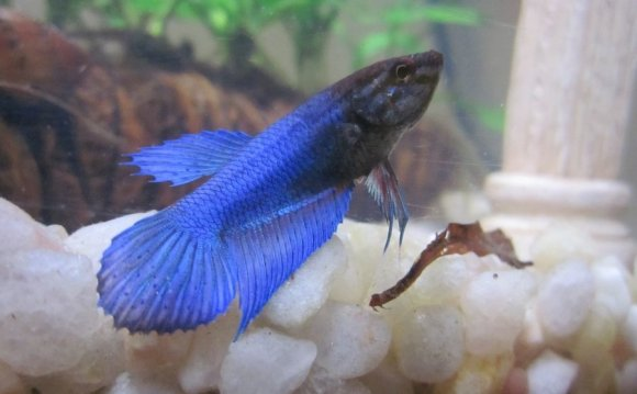 Female halfmoon Betta fish