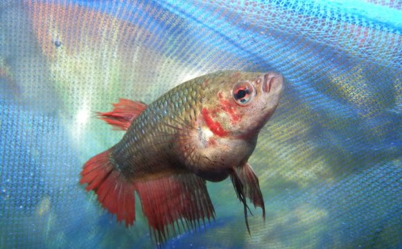 Pregnancy Betta fish Pictures