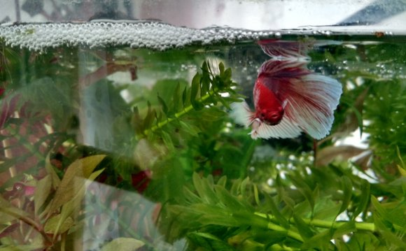Betta fish warm water