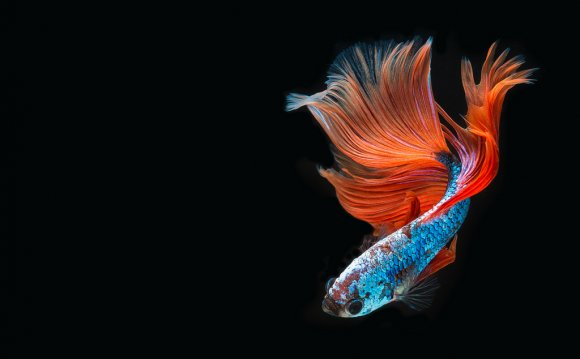 Thailand fighting fish