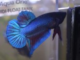 Betta fish names for male