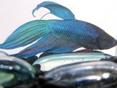 Blue fighting fish