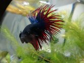 Crown fins Betta