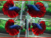 Crown Siamese fighting fish