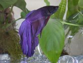 Crowntail Betta Care