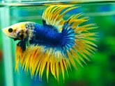 Crowntail Betta fish names