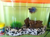 Crowntail Male Betta Care