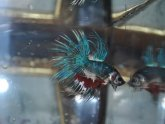 Crowntail male Betta fish care