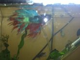 Double Crowntail Betta