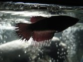 Female Crowntail