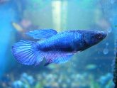 Female Siamese fighting fish