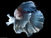 Fighter fish images