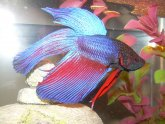 Fighting fish water