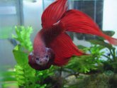 Happy Betta fish behavior