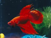 Looking after Siamese fighting fish