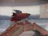 PetSmart Betta fish care