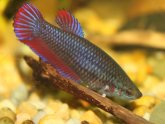 Siamese female fighting fish