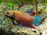 Siamese fighting fish breeding strategies