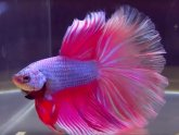 Siamese fighting fish cold water