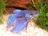 What do Siamese fighting fish eat?