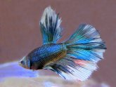 What is a Half Moon Betta fish?