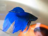 What to name a blue Betta fish?