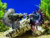 Why are Betta fish aggressive?