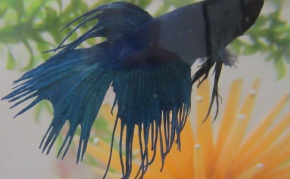 Betta fish fins falling off