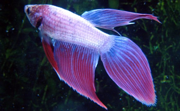 Different types of Betta fish Tails