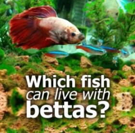Which fish can live with bettas