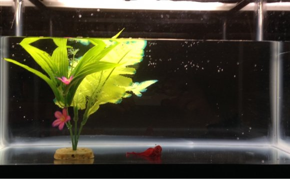 Betta fish with Dropsy